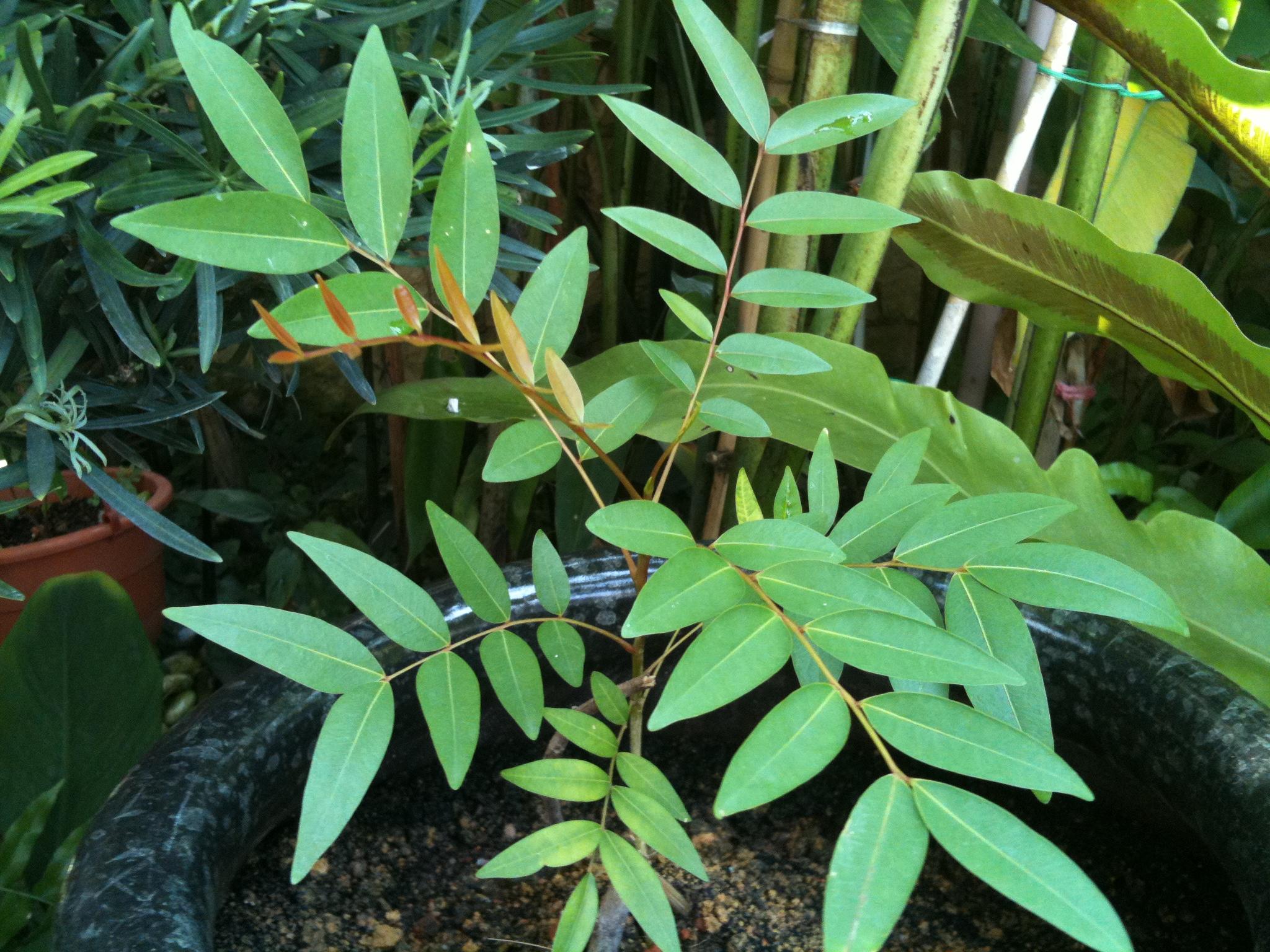 Paradise Tree Simarouba Glauca Lijiun
