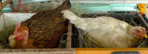 Beautiful hens….