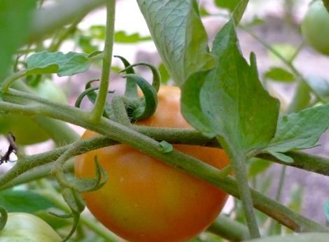 The 1st Ripe tomato in my garden….