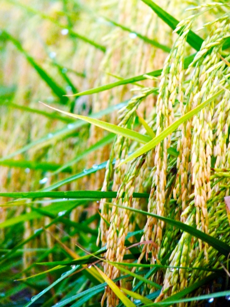 The ripening rice….