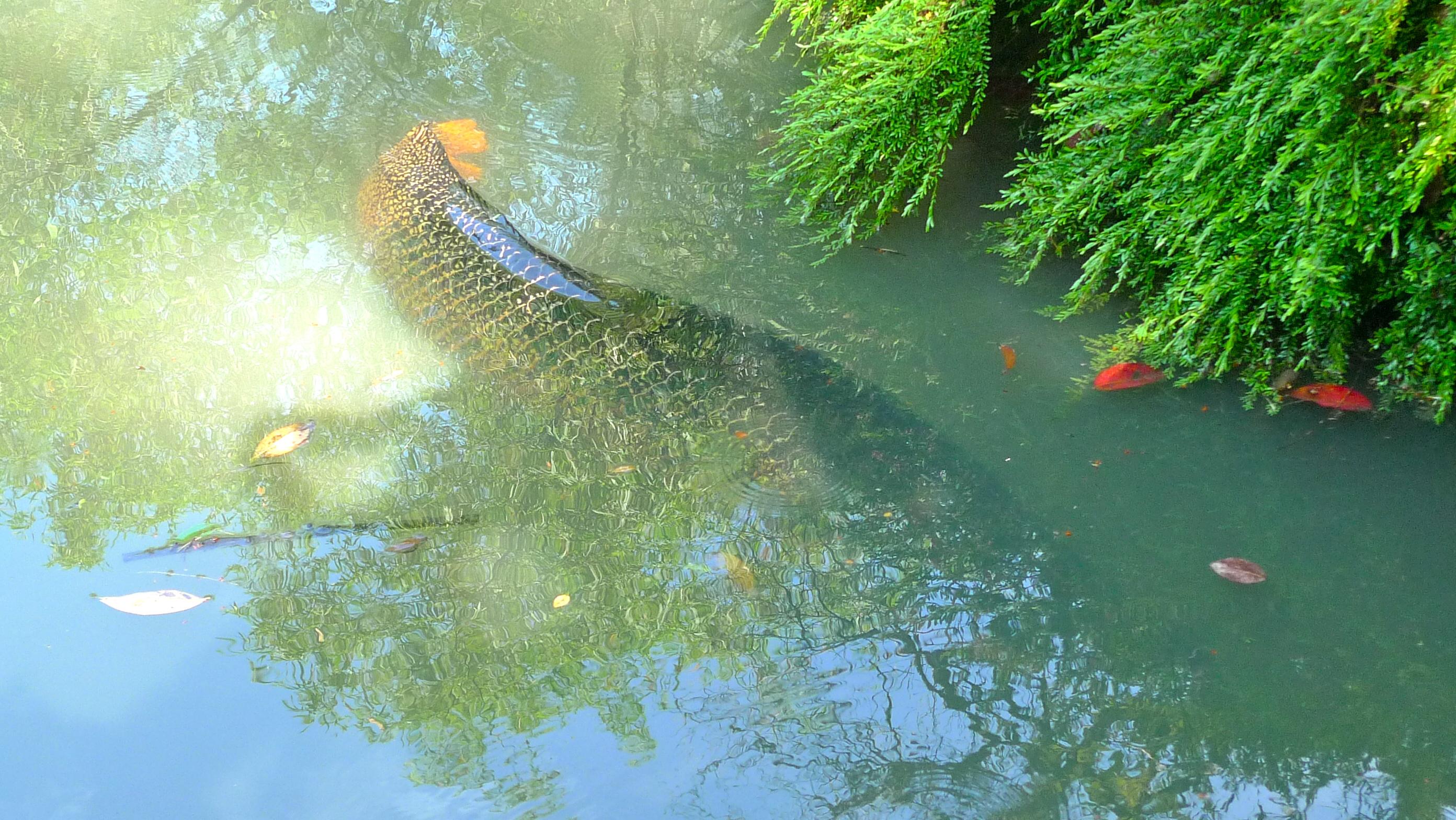 Arwana The Super Silver Giant Fish In Rofik Aquarium - YouTube |Giant Arowana