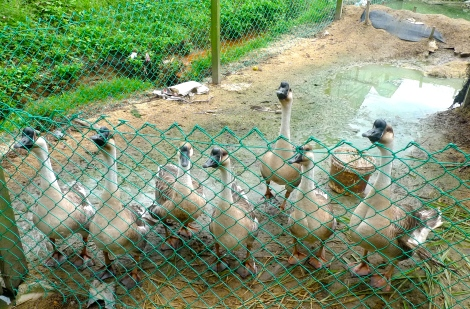 Welcoming by this group of lovely goose… So cute!