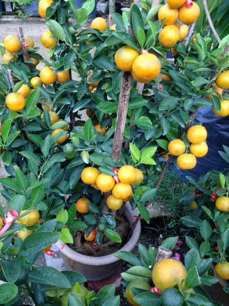 Lime tree look like golden nugget.. One of the favorite plant for Chinese New Year..