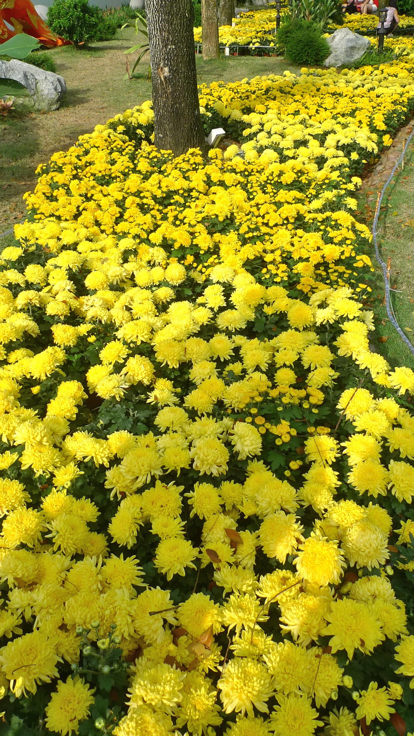 Chrysanthemum Flowers Lijiun