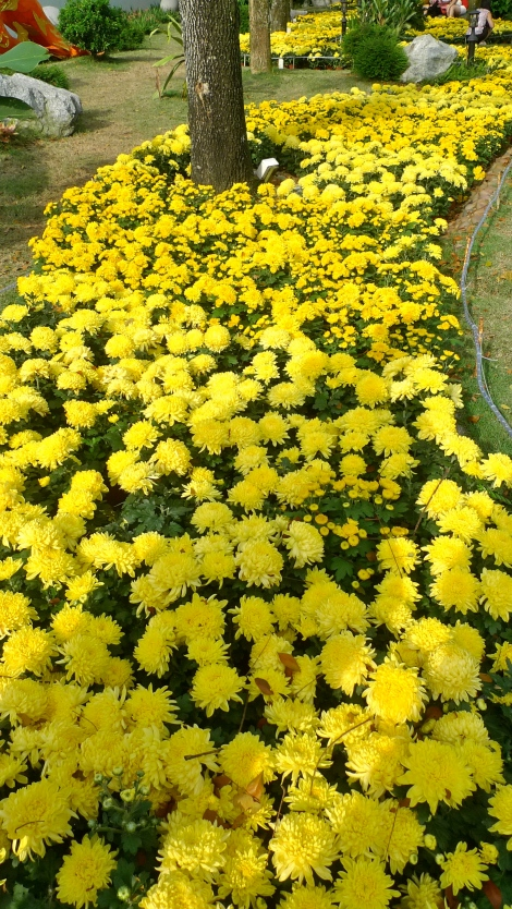 The beautiful path of yellow Chrysanthemum flowers. Full of fragrance and also vibrant color. Life is beautiful!