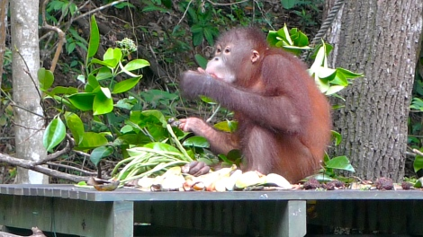 Orang Utan, Man of the forest,  endangered due to their habitat being destroyed.