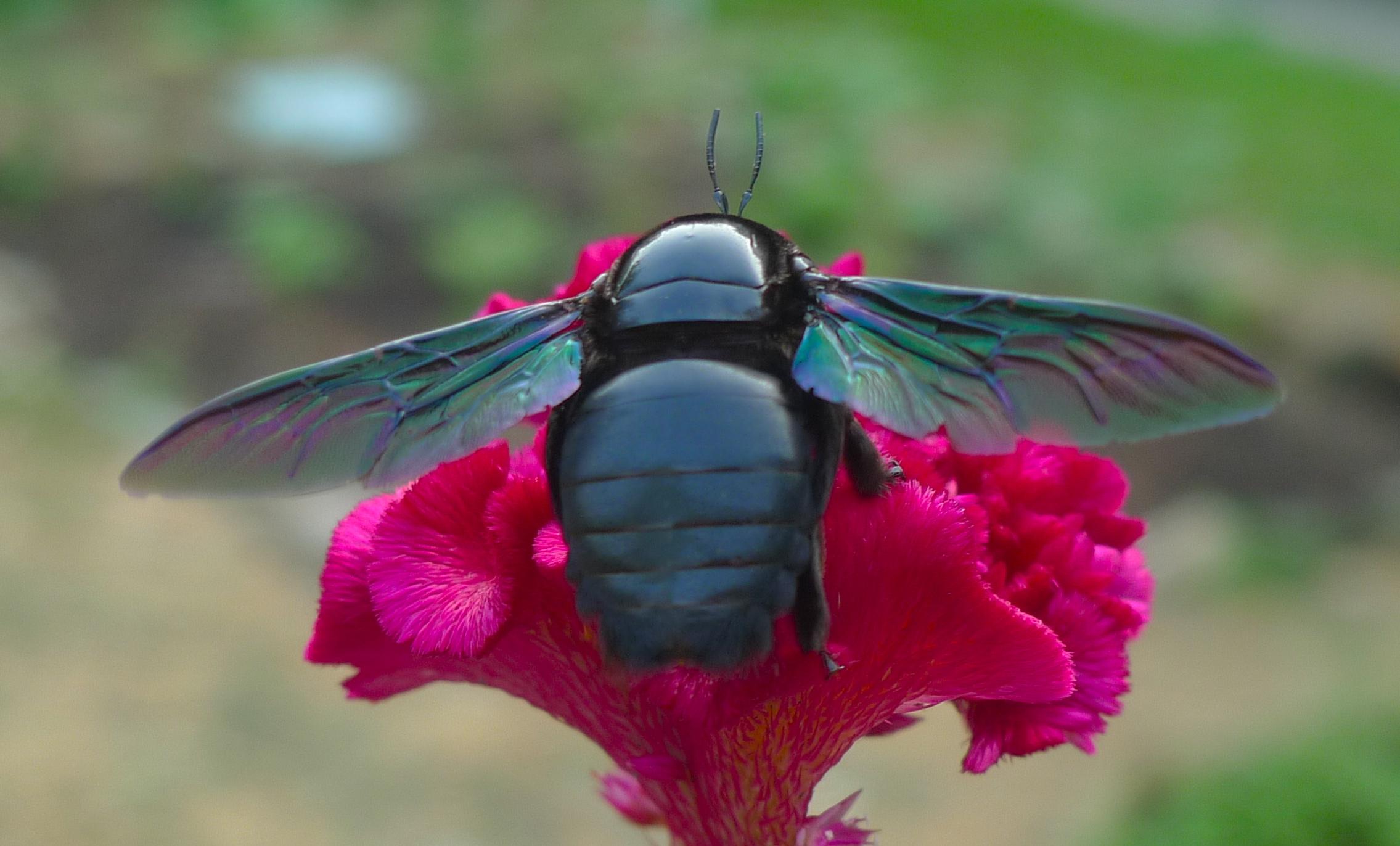 Black Bumble Bee >> Our Friend Big Black Carpenter Bee Lijiun