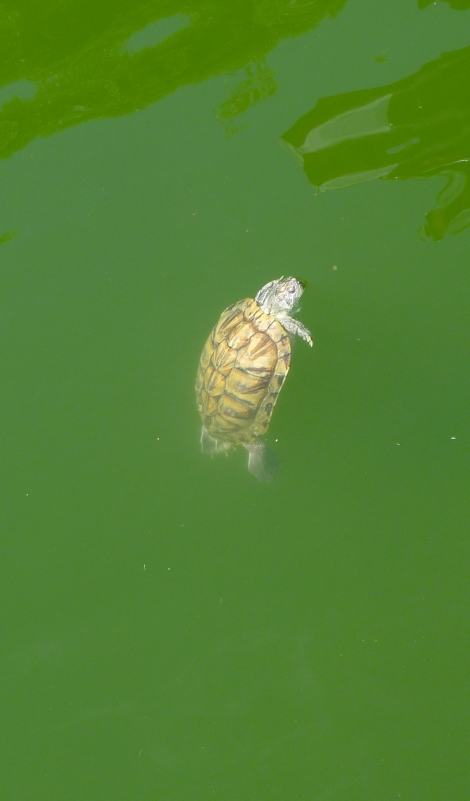 Look at the cute little turtle, he is like standing...