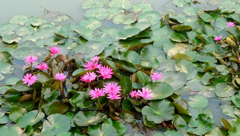 Lotus flower to remind us to sustain your kind virtue, not be influence by external environment! Be a living example!