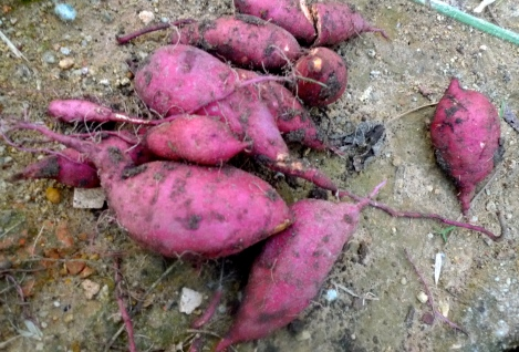 Look at the beautiful and healthy sweet potatoes, it's fully organic, no pesticides and no chemical fertilizer. Imagine, if my parent give up easily, how can we reap the sweet potatoes?