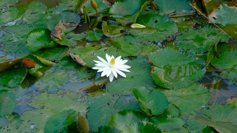 Don't be disturbed by the surrounding, transform negativity to positive.  Learn from the White lotus flower!