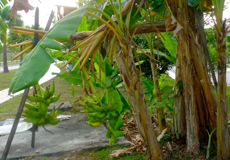 Look at the banana tree, it  bend down itself to bear the fruits.. the giant banana.. Look awesome! Without the sacrifice of the banana tree, how can we get the giant banana...