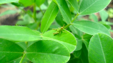 Check out the little grasshopper, on the peanut's leaves… We also not planted any peanut, it growth by itself… the gift from nature! How wonderful!