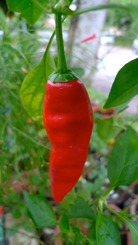 How beautiful is the fully red chili! Enjoy the process….