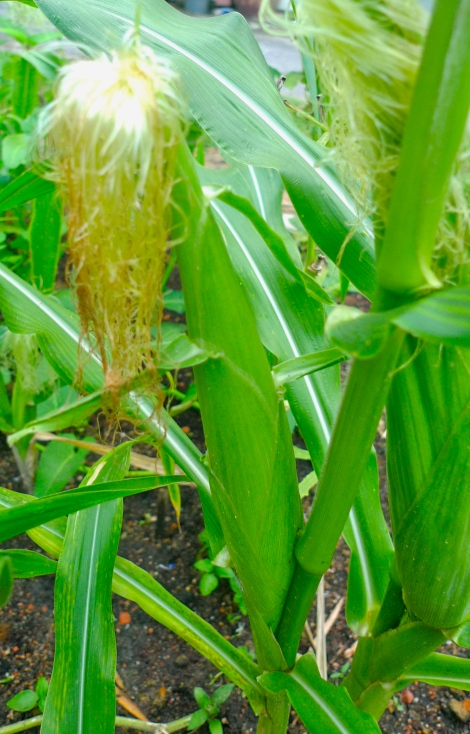 Finally, we can see corn is growing…. a gift from nature...