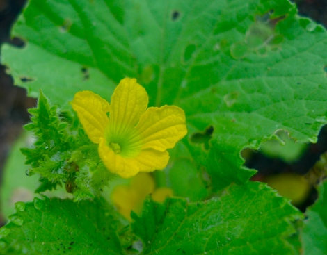 A beautiful yellow flower from cucumber….