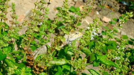 A lovely changable lizard...