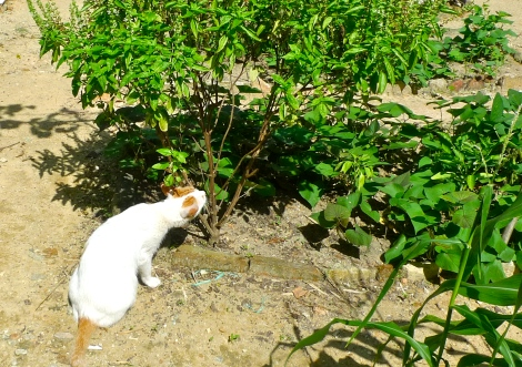Little White was kept smelling the basil plant…Definitely, he discovered something unusual….