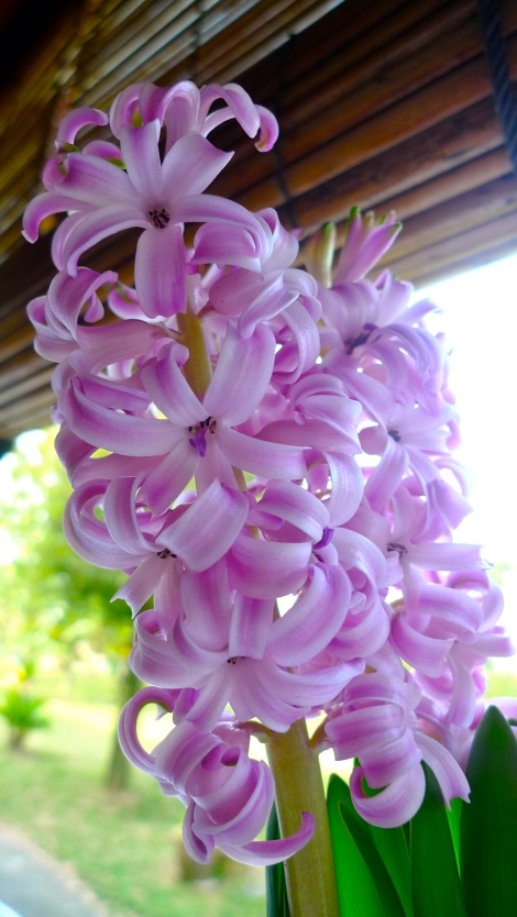 I received this beautiful Hyacinth flowers from my friends. My heart is blossom like the beautiful flowers!
