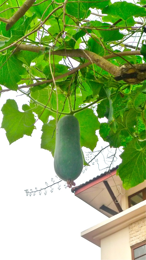 The lovely plant grow almost taller than our house. It become one of the attraction in neighborhood, it bring happiness and joy to surrounding!
