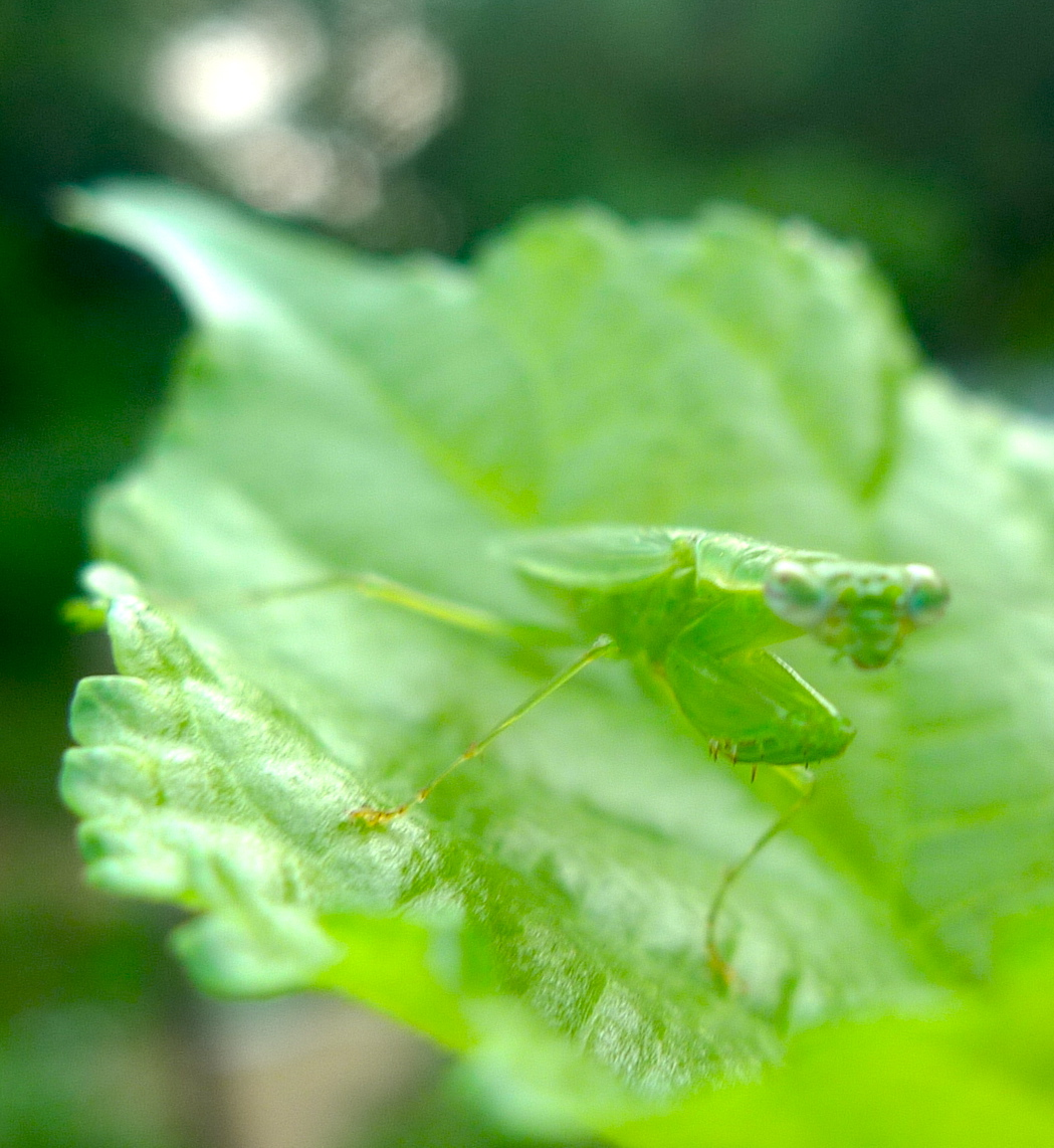 My little friend, little praying mantis… | lijiun