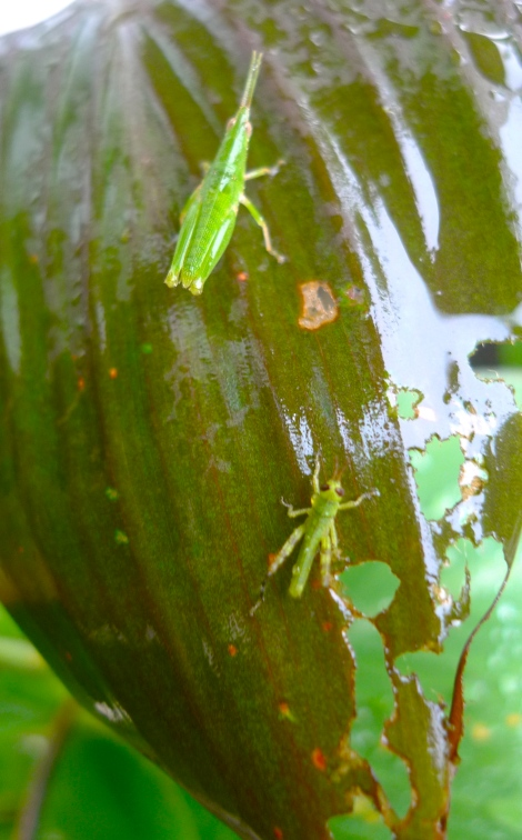 A big and little grasshopper… They are happily hanging together...