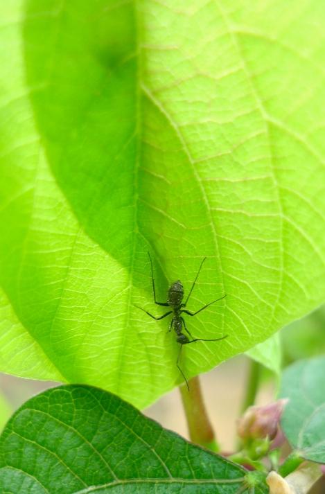 Big black ant...