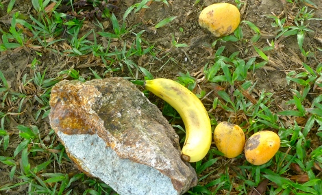 We brought banana and along the journey, we picked up some of the ripen mangoes fall on the roadside. We offer all to our little monkey friend.