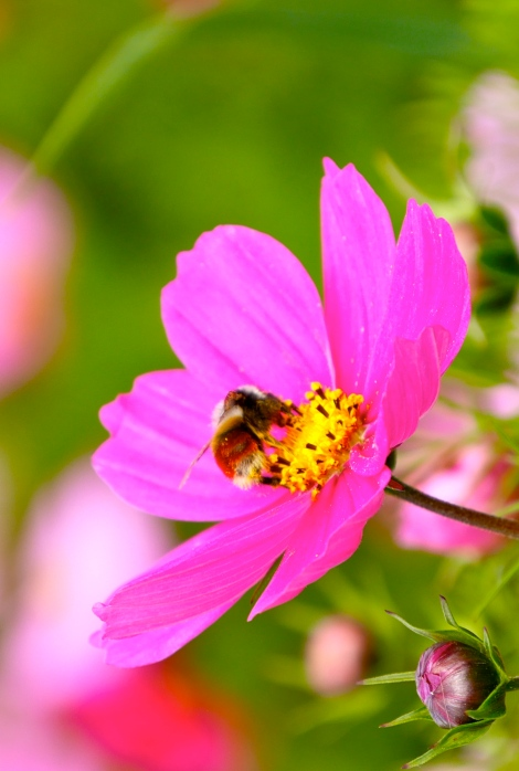 Look at the little bee, he is enjoying himself with the beautiful flower.