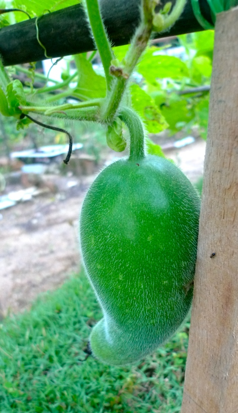 We were extremely happy when we look at the fruit of hairy melon.