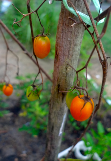 Even the plant is dying, its still do her best to provide nutrient to the cherry tomatoes...