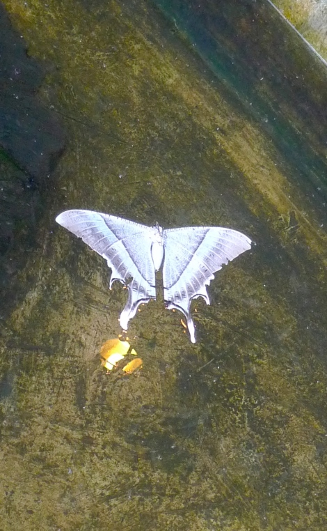 The little butterfly was accidentally fall into the water. He need help urgently to save him out from drowning.