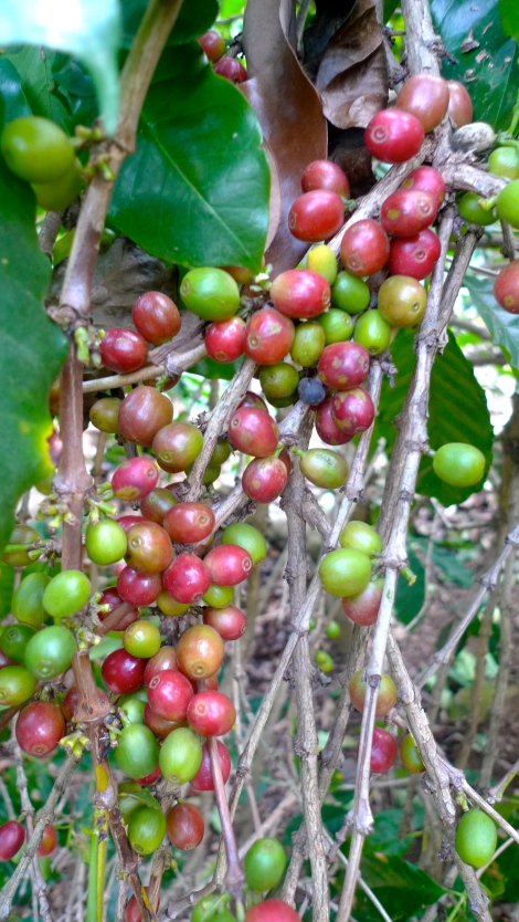 Coffee cherry, so beautiful with the green and red color combination.