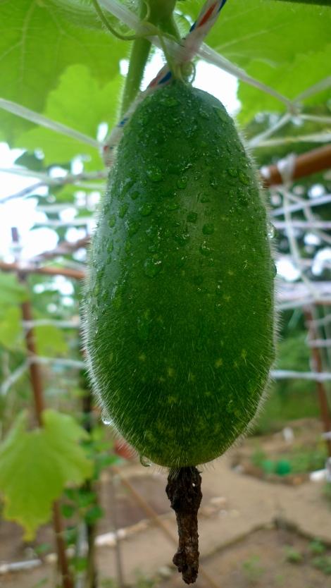 The 1st melon….Nice!