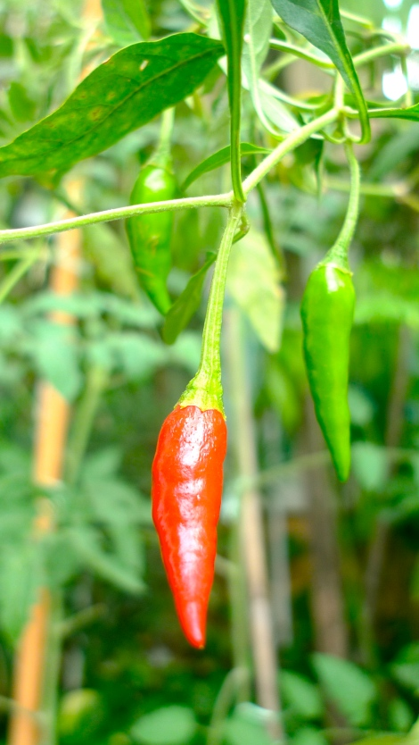 Our favorite Chili padi, the  plant is aging yet still bear beautiful chili!