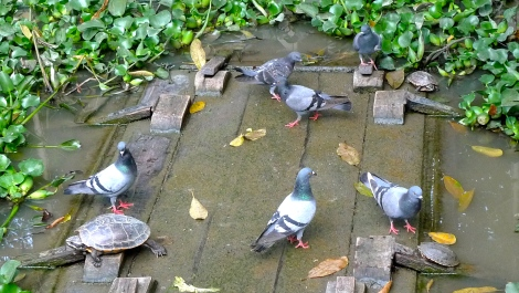 A group of pigeons can make friends with little turtles...