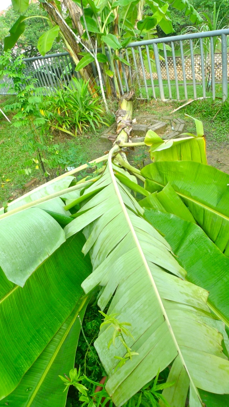 The healthy banana tree fall down after a storm. It happened so sudden...