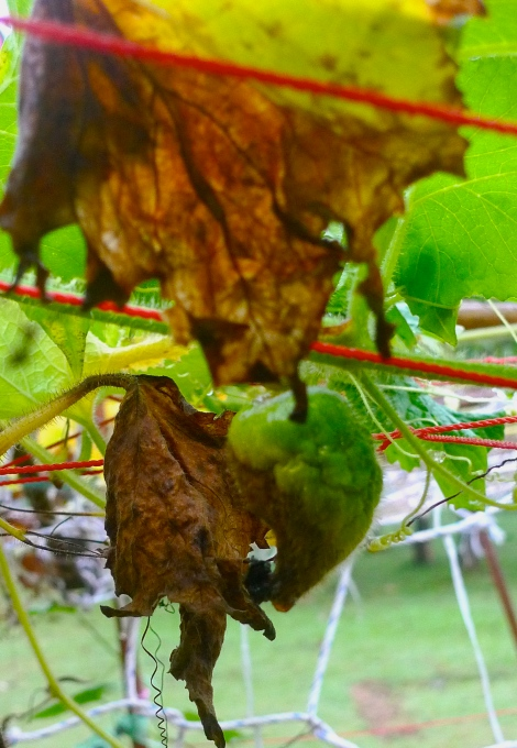 Look at the yellow. brown dry leaves and also the young hairy melon also dying...