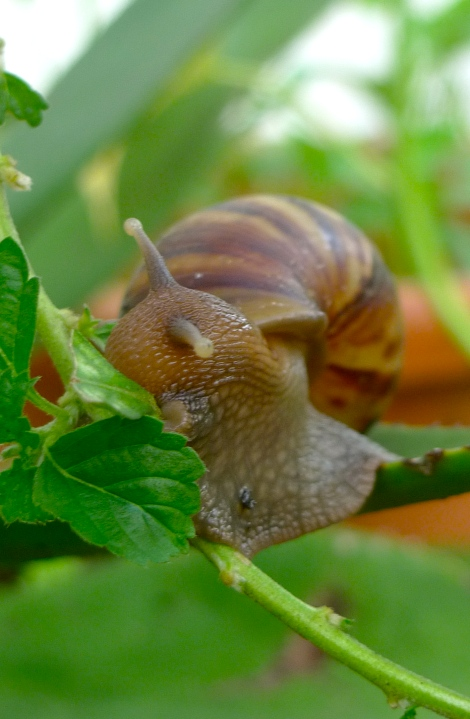 How intelligent is the snail! This little being is getting support from the Aloe Vera plant to eat the fresh leaves from other plant.