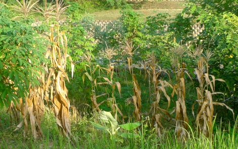 Look at the corn, all die off..