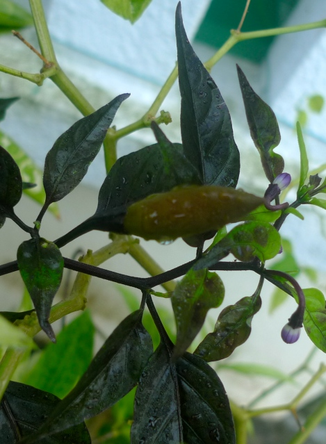 Black leaves chili, quite challenging to plant. We are lucky to have the only plant in garden.