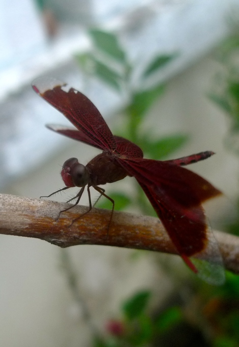 What a beautiful Red dragon fly!