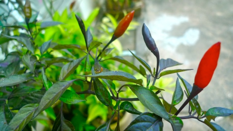 Look at the color of chilies, no matter what color it is, it still look beautiful….