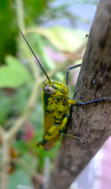 The resident grasshopper at our brinjal plant.