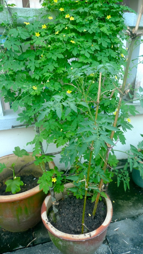The bitter gourd plant actually is growing in a pot. I respect its surviving skills.
