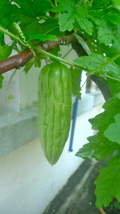 Look at the healthy bitter gourd…