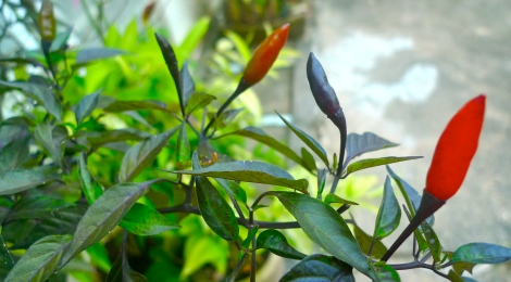 By looking at the chili in garden, it deepen my understanding that just follow the flow of life and enjoy.