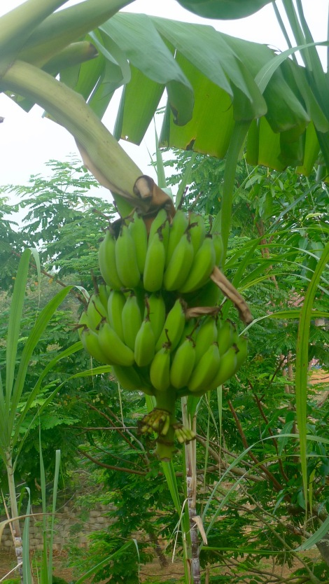The banana tree in our garden.