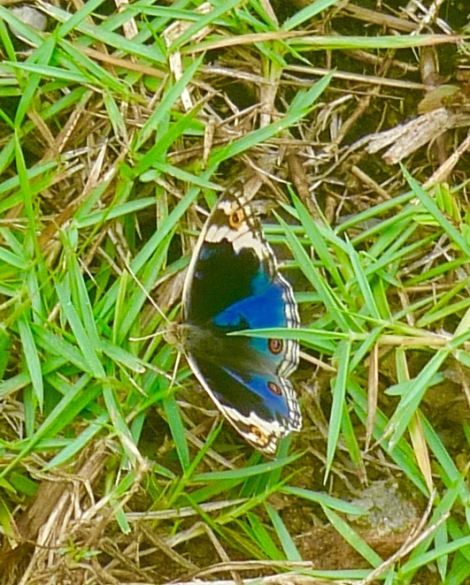 First time,  I saw a beautiful blue butterfly in my garden.  A little surprise and ultimate happiness!