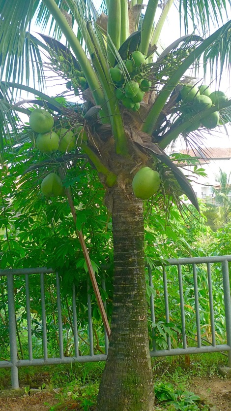 "Look at the coconut tree, it bear so many coconut which help to nourish our thirst. Let's be a ""fruitful"" person."